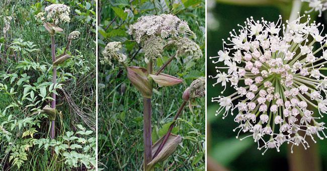 Site internet de gilbert jaccon fleurier num rique for Plante angelique