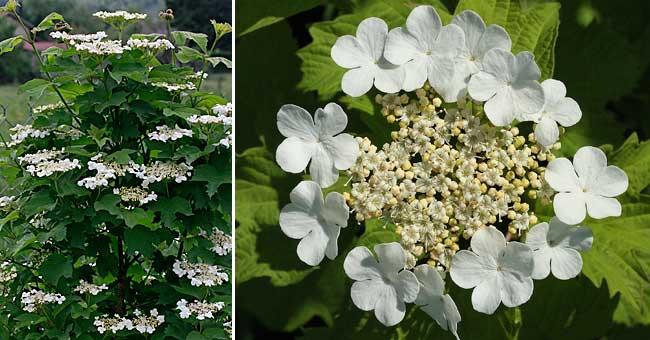 Fleurs ombelles blanches - Boule de neige plante ...