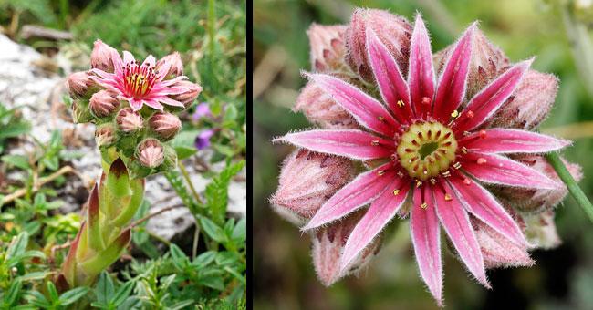 Site internet de gilbert jaccon fleurier num rique for Plante grasse exterieur vivace