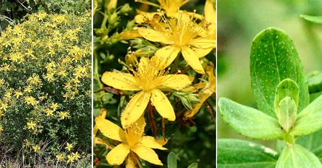 site web de gilbert jaccon fleurier num rique fiche florale du millepertuis commun herbe. Black Bedroom Furniture Sets. Home Design Ideas