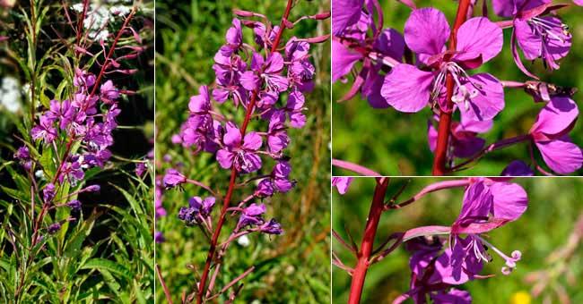 site web de gilbert jaccon - fleurier numérique - fiche florale de