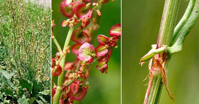 Site web de gilbert jaccon fleurier num rique fiche florale de l 39 oseille sauvage oseille - Planter de l oseille ...