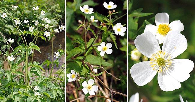 Petite Fleur Blanche 5 Petales Gite Pompadour Lubersac